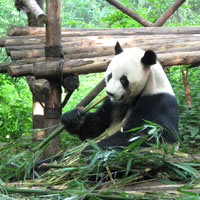 Chengdu fun guide, Panda Base - photo by Vijay Verghese