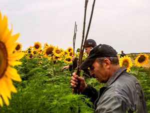 Sorrow amidst the sunflowers - Ukranian coal miners look for clues at MH17 crash site