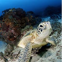 Sipadan dives, sea turtle