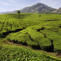 Kerala guide, tea gardens near the hill station of Munnar