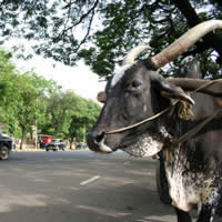 Cows may wander across the Mumbai roads - bovine companion