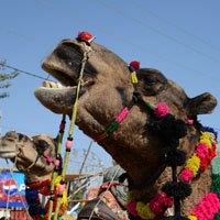Rajasthan guide, Pushkar camel fair image