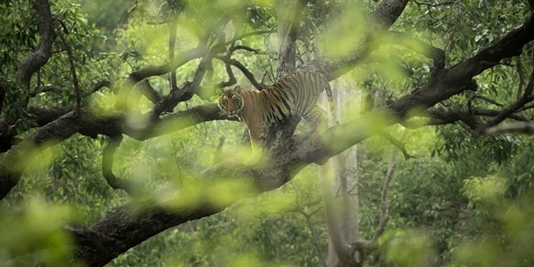 Corbett National Park is the oldest such reserve in India dating back to 1936 - tiger clambers up a tree