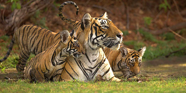 India tiger safari guide - T19, the top tigress at Ranthambhore