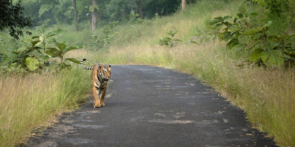 Choti Tara the tigress of Tadoba, ambles along a jungle road