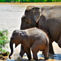 Elephant conservation in Luang Prabang, Elephant Village, mother with calf