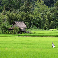 Tiger Trails has rice field tours around Luang Prabang
