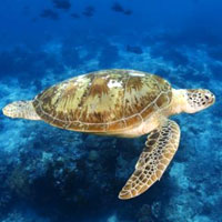 Diving holidays in Sipadan - swim with the turtles at Kapalai