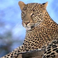 South Africa safari, leopard