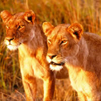 African Game Parks, Lionesses