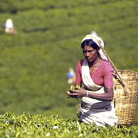 Ceylon tea is arguably the best in the world