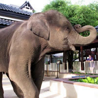 Phuket child-friendly options, baby elephant at Angsana