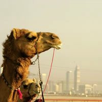 Dubai fun guide, camel rides outside the city