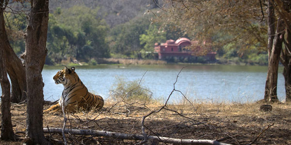 India tiger guide to fun and faces of these magnificent felines - Arrowhead at Ranthambhore