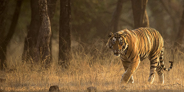Getting to know Indian tigers - Pacman at Ranthambhore National Park