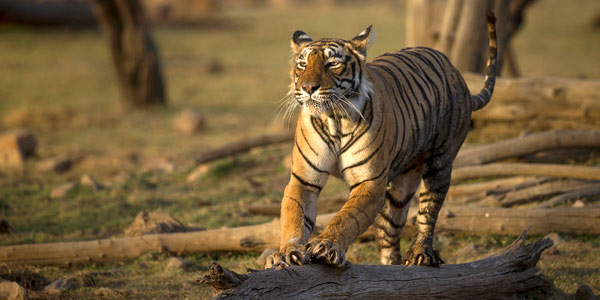 Best Indian wildlife parks for tiger spotting - T19 at Ranthambhore