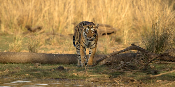 Ranthambhore park offers a dramatic setting with dry brush and historic forts - T19 on the prowl