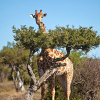 Africa game parks guide, giraffes